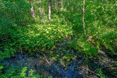 Mañana del verano en un bosque verde Foto de archivo