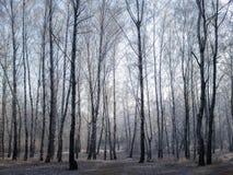Mañana en bosque del abedul Imagenes de archivo