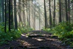 Mañana en el bosque profundo Fotografía de archivo libre de regalías