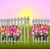 Mañana en el tulipán y la cerca del jardín Imagen de archivo