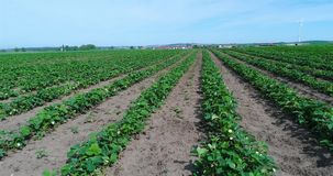 Mañana en la granja hermosa de la fresa Visión aérea sobre la plantación grande de fresas en el día soleado Vuelo de la cámara so almacen de video