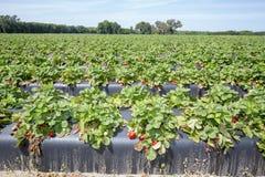 Mañana en la granja hermosa de la fresa Fotos de archivo libres de regalías