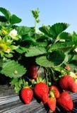 Mañana en la granja hermosa de la fresa Fotografía de archivo libre de regalías
