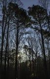 Mañana en los pinos Imágenes de archivo libres de regalías