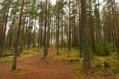 Mañana en un bosque del pino Foto de archivo libre de regalías