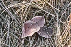 Mañana escarchada. Hojas e hierba congeladas. Foto de archivo