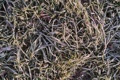 Mañana escarchada. Hojas e hierba congeladas. Fotografía de archivo libre de regalías