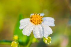 Mañana floreciente de las malas hierbas Imagen de archivo