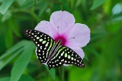 Mañana Glory Flower Imágenes de archivo libres de regalías
