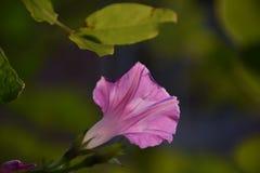 Mañana Glory Flower Foto de archivo libre de regalías