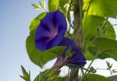 Mañana Glory Flowers de dos púrpuras Fotos de archivo