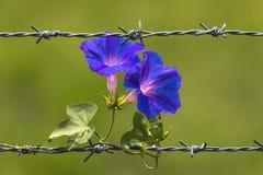 Mañana Glory Flowers que florece en el alambre de púas y el fondo borroso foto de archivo