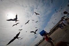 Mañana ocupada con los pájaros de fragata atraídos por Imágenes de archivo libres de regalías