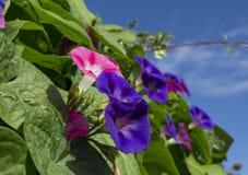 Mañana púrpura y rosada Glory Flowers Fotos de archivo