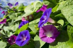 Mañana púrpura y rosada Glory Flowers Foto de archivo