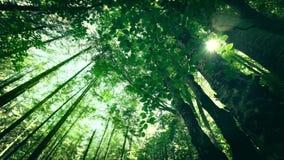 Mañana soleada asombrosa en el bosque profundo de la montaña de montañas cárpatas metrajes