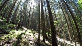 Mañana soleada asombrosa en el bosque profundo de la montaña de montañas cárpatas Opinión granangular de la toma panorámica metrajes