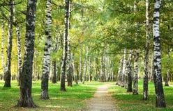 Mañana soleada del otoño en parque del abedul Foto de archivo