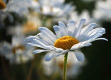 Mañana soleada en el prado de la margarita Imagenes de archivo