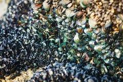 Małż kolonia na seashore Obraz Royalty Free