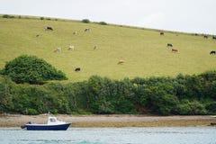 Mała łódka, krowy na zboczu, Devon, Anglia Zdjęcie Royalty Free