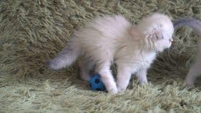 Mała śliczna biała figlarka bawić się przy futbolem zbiory wideo