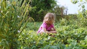 Mała śliczna dziewczyna je truskawkowego obsiadanie blisko rośliny łóżka w ogródzie zbiory wideo