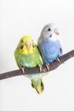 Mała Śliczna nierozłączka, Budgie, ptak Fotografia Stock