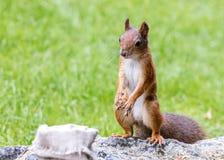 Mała śmieszna czerwonej wiewiórki pozycja na dużym siwieje kamień w zieleni pa zdjęcie royalty free
