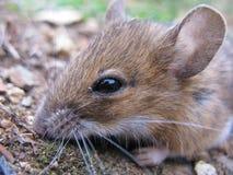 mała śródpolna mysz Fotografia Royalty Free