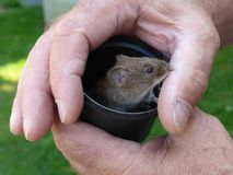 Mała śródpolna mysz w ręce stary człowiek Fotografia Royalty Free