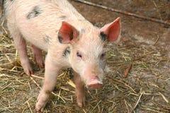 mała świnia Fotografia Stock