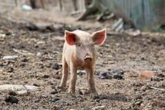 Mała świnia zdjęcie royalty free