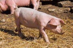 mała świnia Obrazy Royalty Free