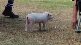 Mała świnia na gospodarstwie rolnym Obrazy Royalty Free