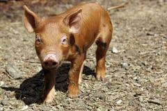 mała świnka Fotografia Royalty Free