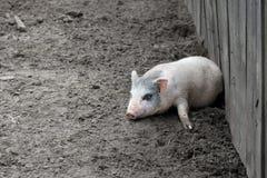 mała świnka Fotografia Stock