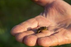 Mała żaba Zdjęcie Royalty Free