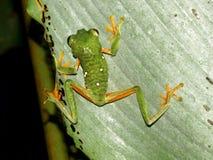 Mała żaba przyglądająca się drzewna żaba (Agalychnis Callidryas) Zdjęcia Royalty Free