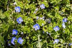 Mała błękit trawy i kwiatów tekstura Obrazy Stock