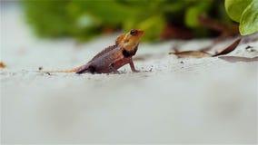 Mała barwiona jaszczurka na piasku, przyroda tropikalne wyspy zbiory wideo