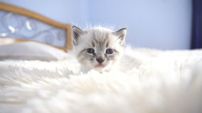 Mała biała figlarka na puszystej koc zbiory