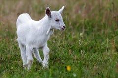 Mała biała kózka na trawie Zdjęcia Stock