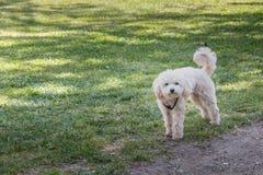 Mała biała pudla psa pozycja w zielonej trawie Obraz Royalty Free