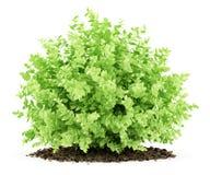 Mała boxwood roślina odizolowywająca na bielu Obraz Stock