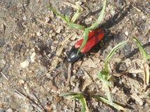 Mała brown czerwona pluskwy ściga w trawie Obrazy Stock