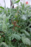 Mała brown pająk wspinaczka pajęczyny w ogródzie zdjęcia royalty free
