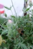 Mała brown pająk wspinaczka pajęczyny w ogródzie obrazy royalty free