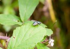 Mała brzydka zielona komarnica na liścia błonia zieleni butelki komarnicy Lucilia serze Zdjęcia Royalty Free