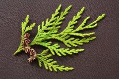 Mała cedr gałąź z malutkimi pinecones Fotografia Royalty Free